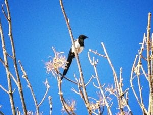 Black billed magpie September 2 2016