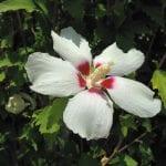 hibiscus-8-18-16-1