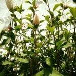hibiscus-8-18-16-2