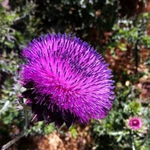 musk-thistle-up-close-2016