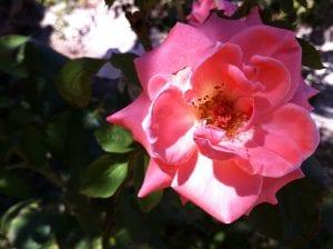 pink-rose-2016-1
