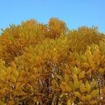 trees-vintage-11-9-16-4