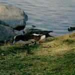 walk-and-ducks-vintage-lake-11-24-16-1