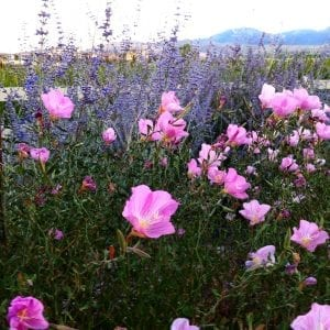 Pink and Purple Flowers Damonte Ranch Summer 2016