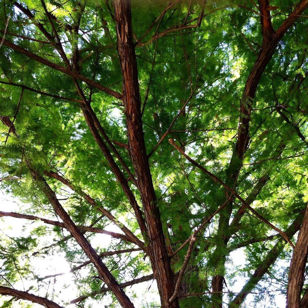 San Antonio Tree with Stardust and Moonbeams Poem 2016