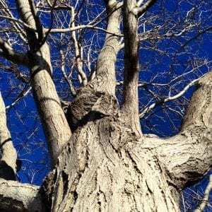 Looking Up Tree Vintage Poem 2017