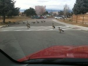 Geese crossing road 12.15.11
