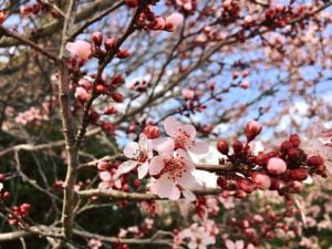 Cherry Blossoms Vintage Lake Solo Walk 4.2.18