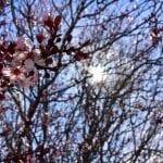 Solo Walk Vintage Lake Cherry Blossoms Shadows 3.29.18 #5