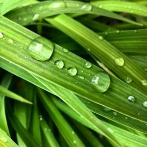 Let it Roll Off Walk Vintage Leaf with Water Droplets 6.21.18